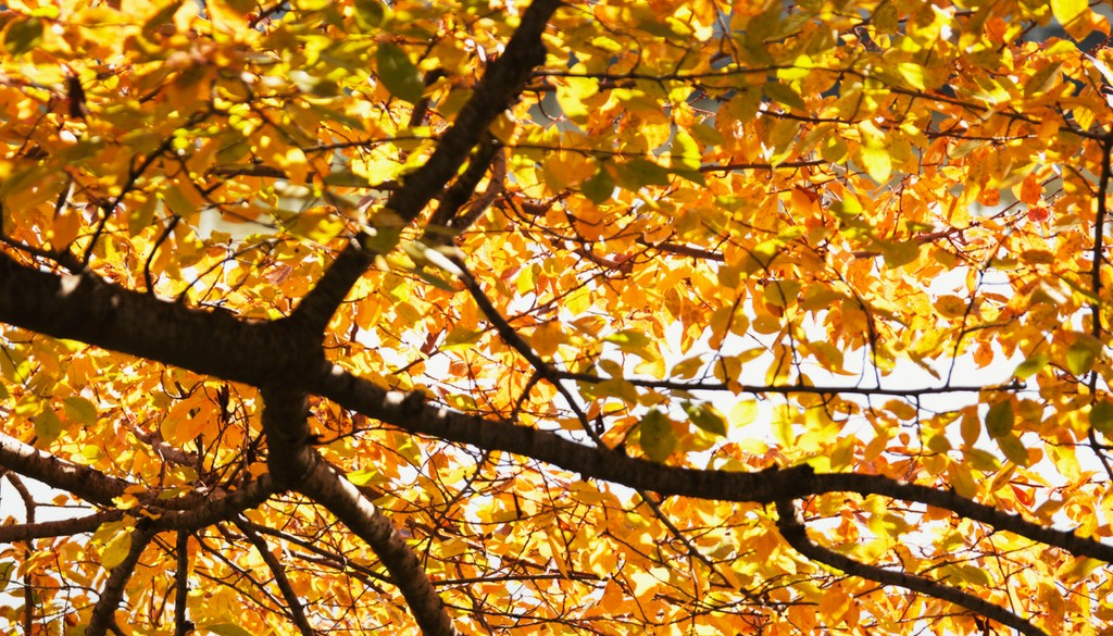 A tree in the fall with bright yellow leaves.