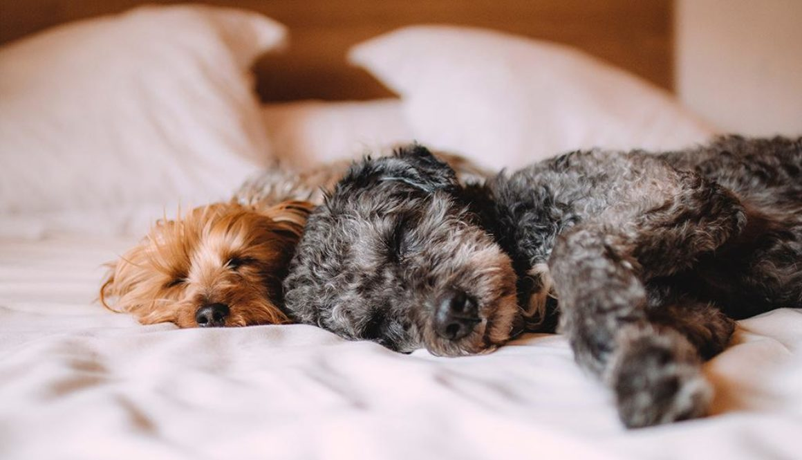 Two small dogs sleeping on a bed.