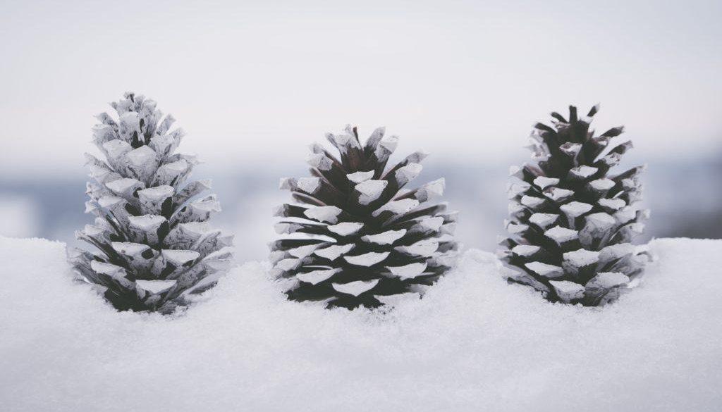 Pine Cones in the Winter
