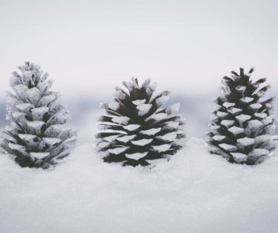 Pine Cones in the Winter