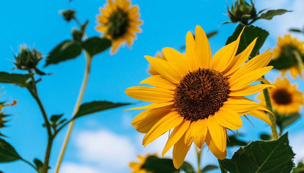 Sunflowers in the summer.